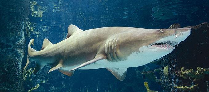Опасная песчаная акула
