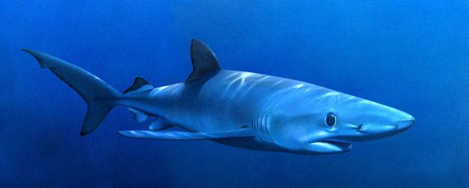 Опасная голубая акула