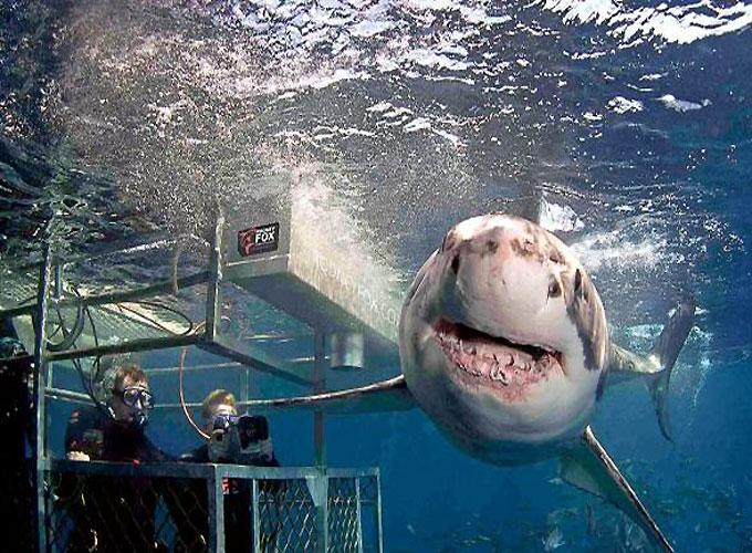 Фото: погружение к большой белой акуле
