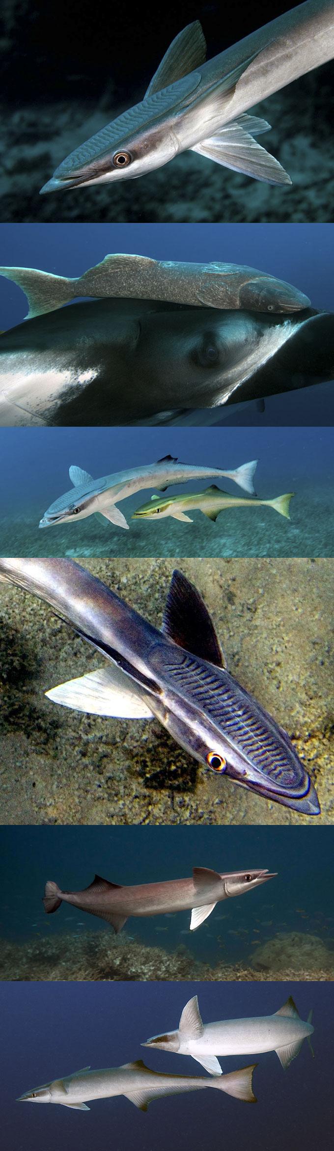 Фото: виды рыб-прилипал