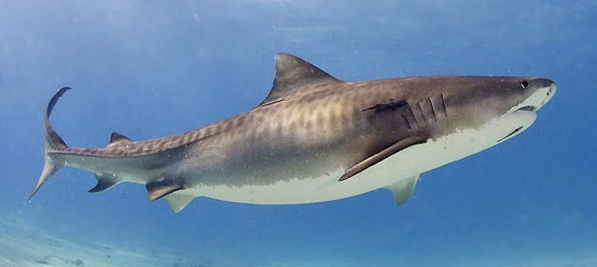 Фото: Род акул Galeocerdo - Тигровые акулы