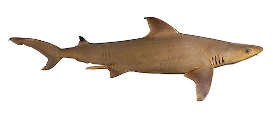 Фото: Род акул Nasolamia - Белоносые акулы