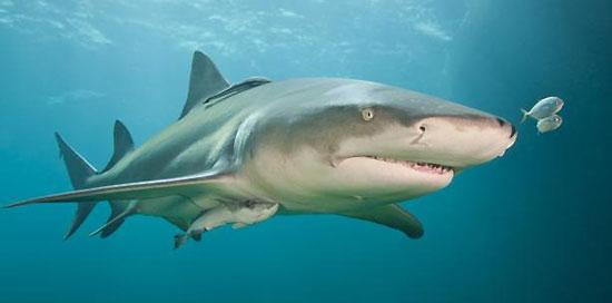 Фото: Род акул Negaprion - Острозубые акулы