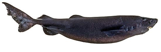 Фото: Род акул Scymnodalatias - Сцимнодалатии