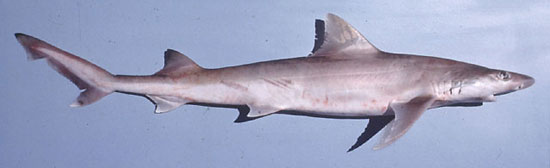 Фото: Род акул Hemigaleus - Большеглазые акулы