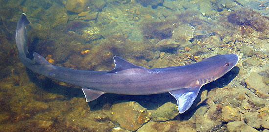 Фото: Род акул Leptocharias - Усатые собачьи акулы