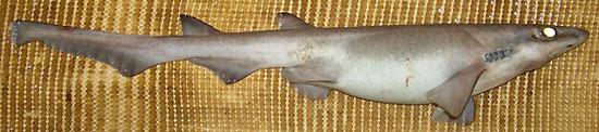 Фото: Род акул Apristurus - Черные кошачьи акулы