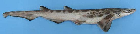 Фото: Род акул Galeus - Пилохвосты