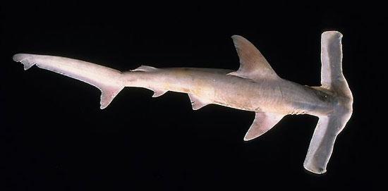 Фото: Род акул Eusphyra - Большеголовые акулы-молот