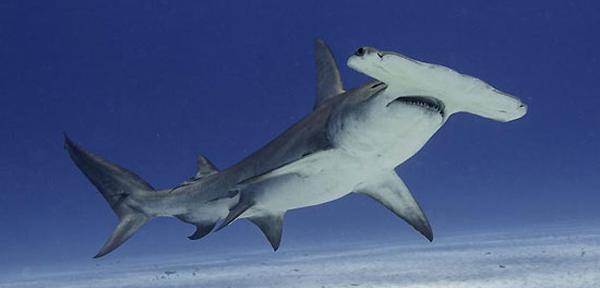 Фото: Род акул Sphyrna - Рыбы-молот, или акулы-молоты
