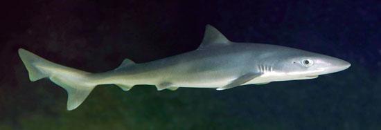 Фото: Род акул Galeorhinus - Суповые акулы