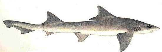 Фото: Род акул Scylliogaleus - Вислоносые акулы