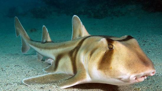 Фото: Род акул Heterodontus - Бычьи акулы, или разнозубые акулы, или рогатые акулы