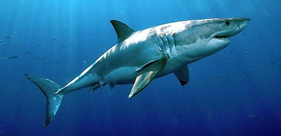 Фото: Род акул Carcharodon - Белые акулы