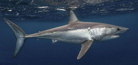 Фото: Род акул Isurus - Акулы-мако, или серо-голубые акулы