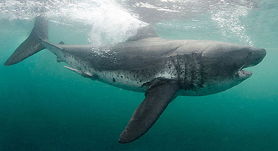 Фото: Род акул Lamna - Сельдевые акулы
