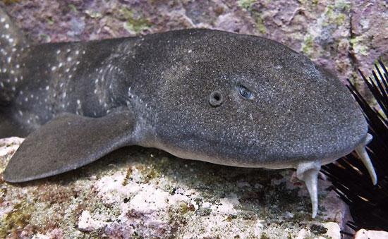 Фото: Род акул Brachaelurus - Пятнистые шорные акулы