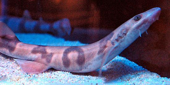 Фото: Род акул Cirrhoscyllium - Шарфовая акула