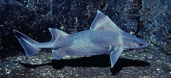 Фото: Род акулы Oxynotus - Трехгранные акулы, или центрины