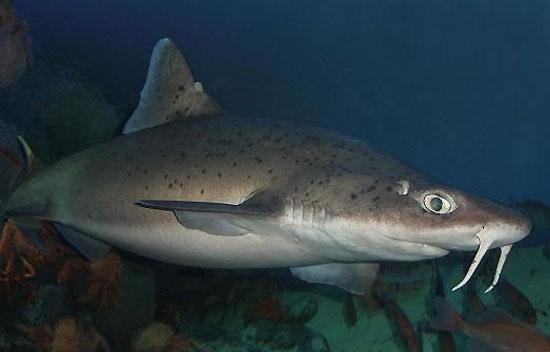 Фото: Род акул Cirrhigaleus - Усатые колючие акулы