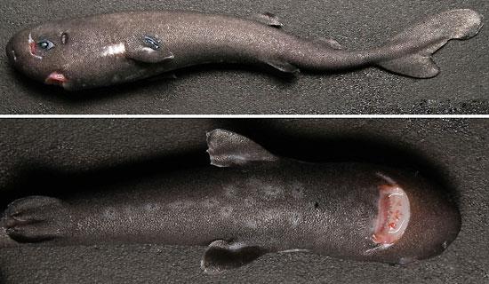 Фото: Род акул Mollisquama - Маллисквамы