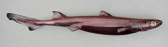 Фото: Род акул Etmopterus - Черные акулы, или колючие акулы