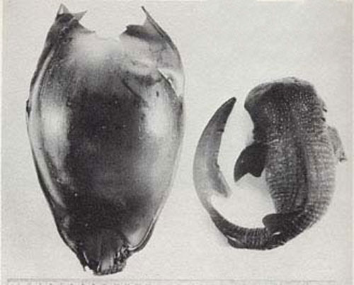 Эмбрион китовой акулы