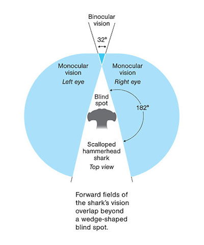 Зрение акулы-молот