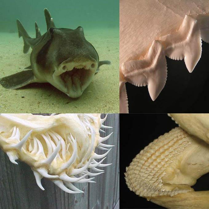 Сколько зубов у акулы?