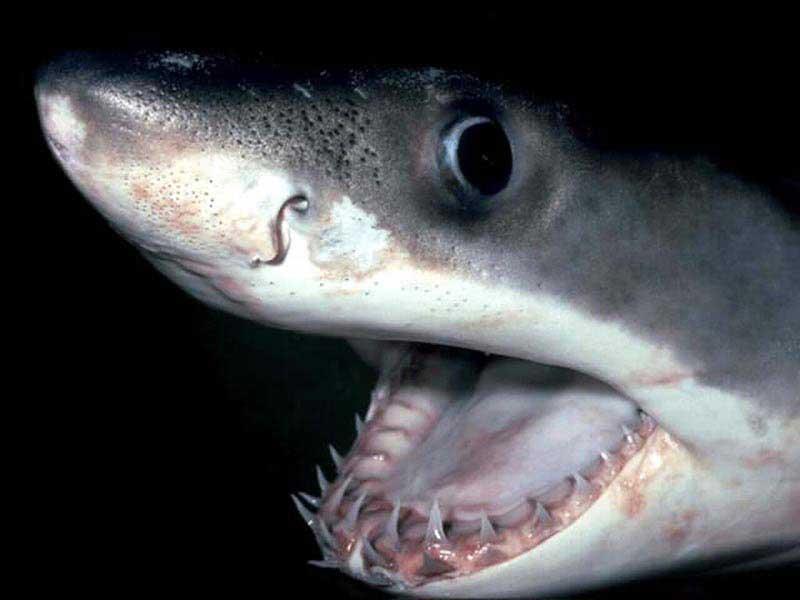 Акула раскрыла рот
