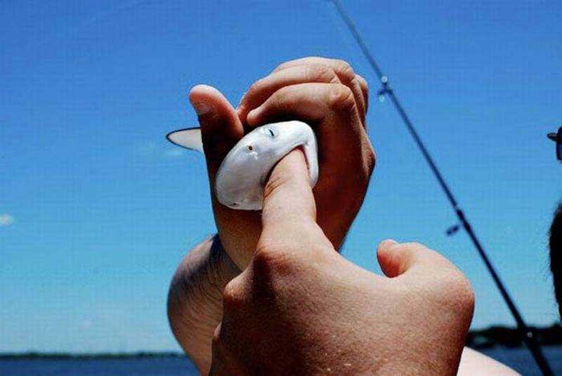 Акуленок схватил палец