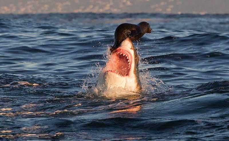 Котик на носу у акулы