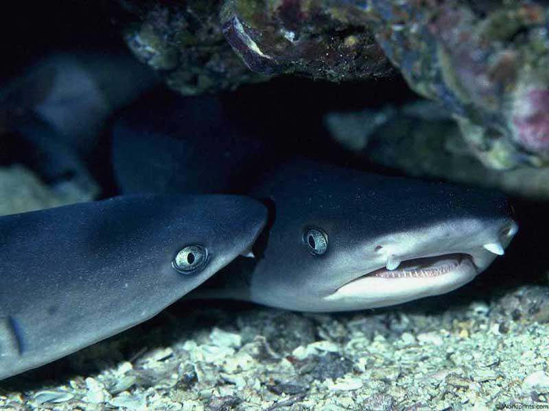 Акулята шепчутся
