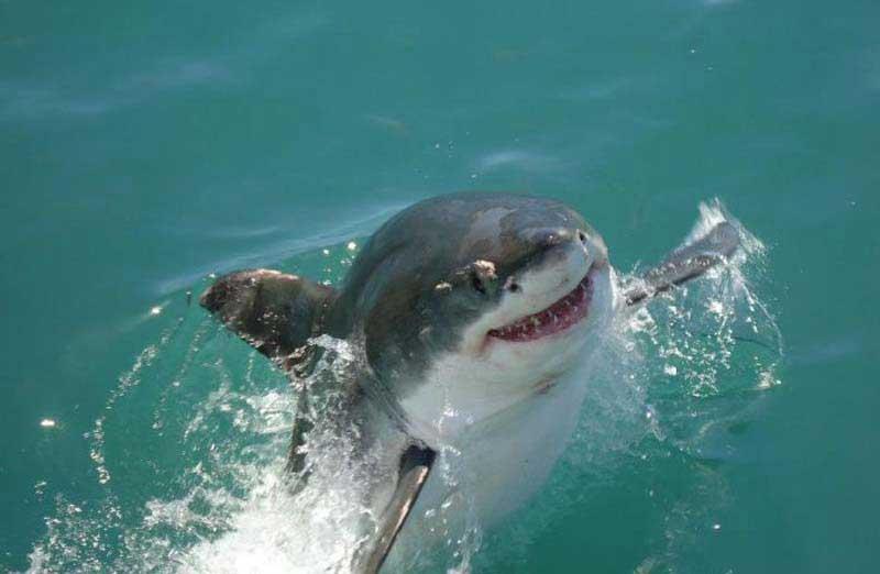 Белая акула улыбается