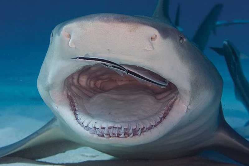 Акуле чистят зубы