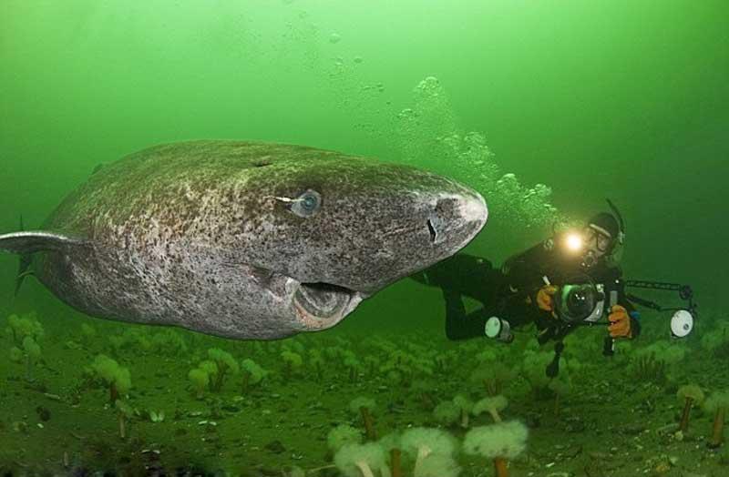 Полярная акула улыбается