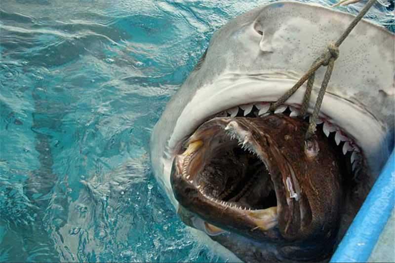 Акула проглотила рыбу