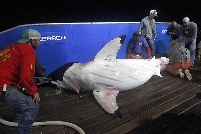 Фото: Мечение белой акулы на борту судна