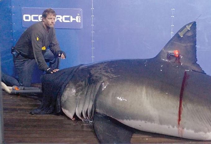 Фото: Изучение белой акулы