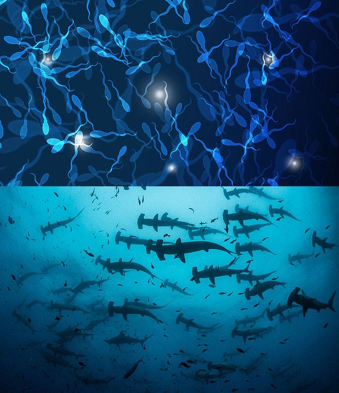 Фото: Скопления акул-молот