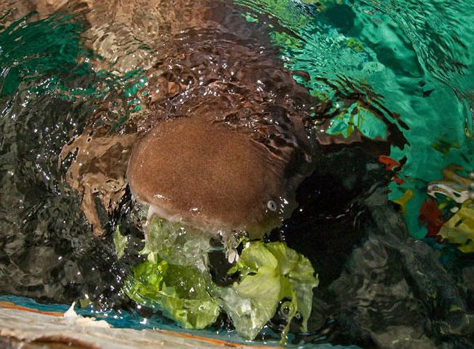 Фото: Акула не ест мяса и питается овощами и зеленью