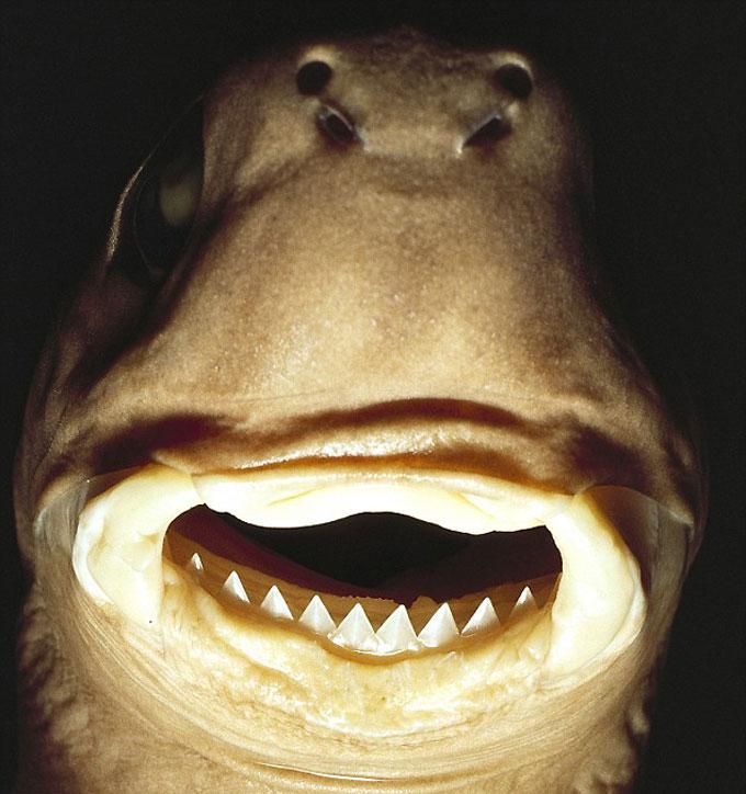Зубы и челюстной аппарат большезубой светящейся акулы