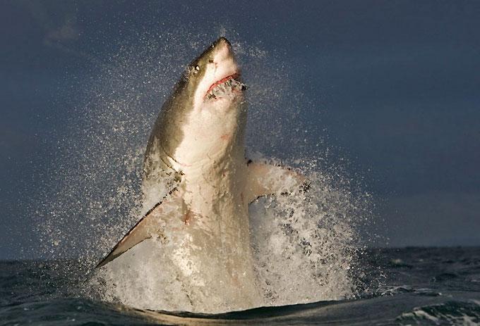 Белая акула-людоед нападает на лодки рыбаков