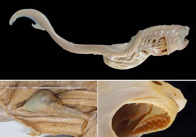 Фото: Зародыш эмбрион белой акулы