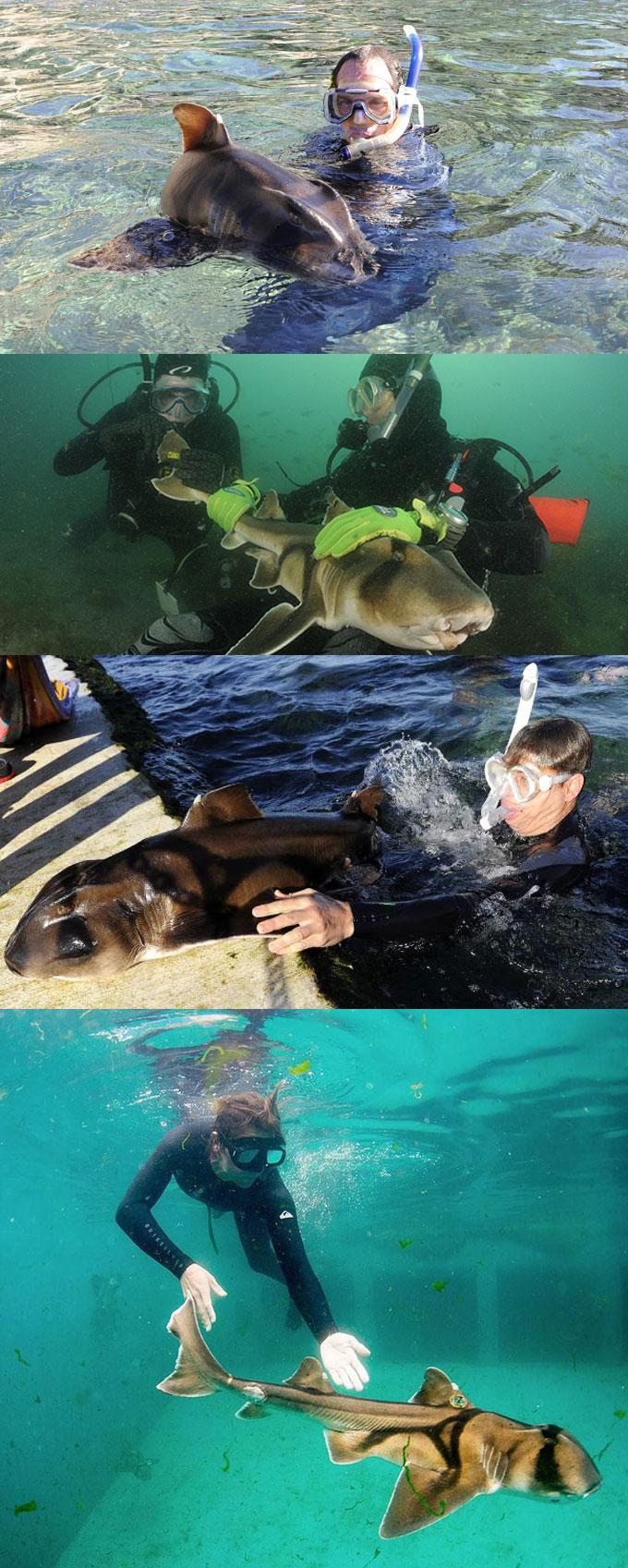 Фото: дайверы и рогатая бычья акула
