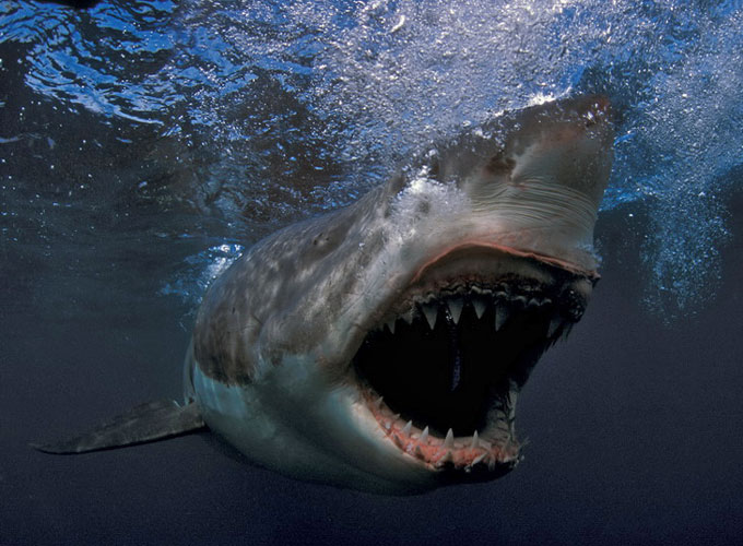 Фото: Белая акула-убийца