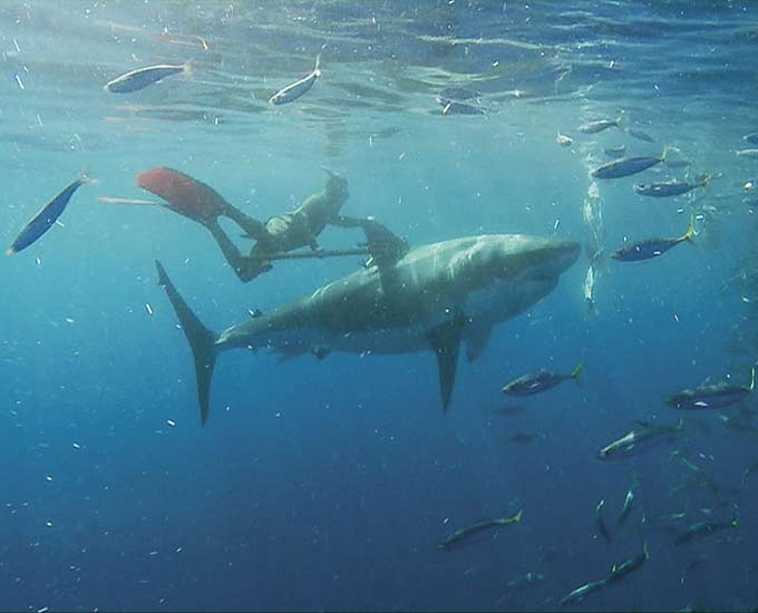 Фото: Дайвер тренирует белую акулу