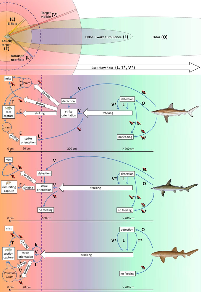 Фото: характеристики охоты акулы
