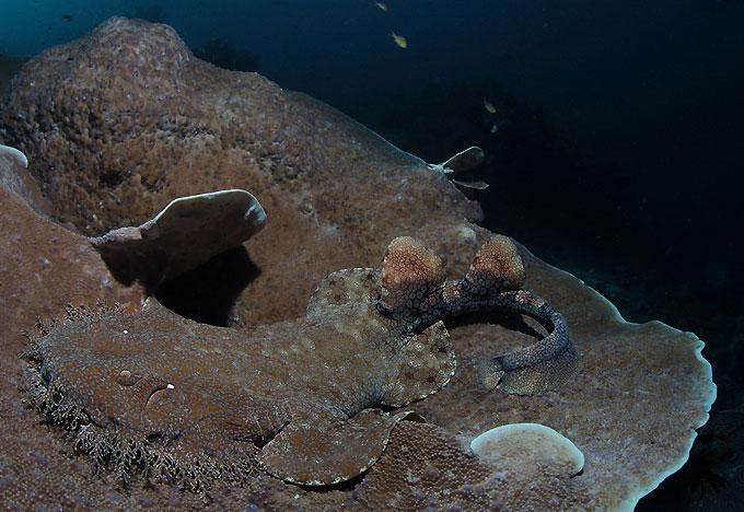 Фото: Бородатая акула воббегонг