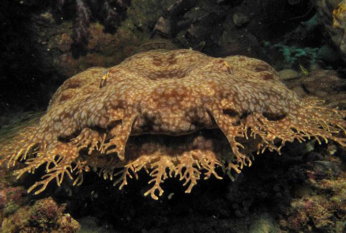 Фото: бахрома или кожные наросты ковровой акулы